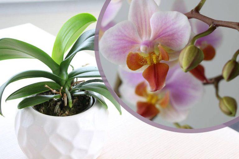 Orchidee wirft Blüten ab