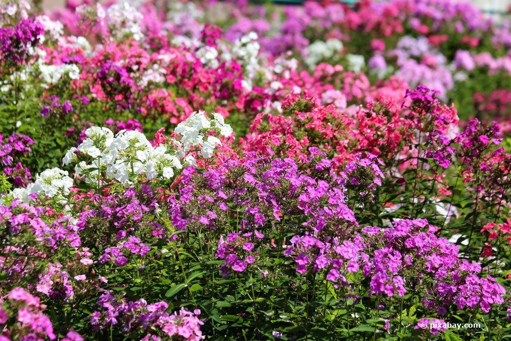 Teppich-Flammenblume, Phlox subulata