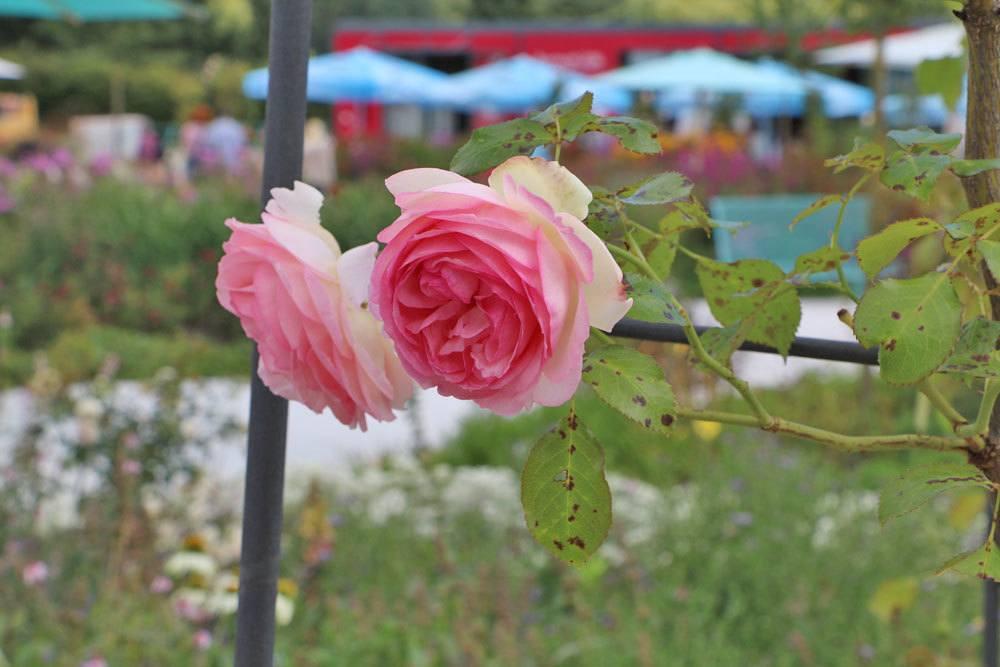 Rosen mit Schwarzfleckenkrankheit