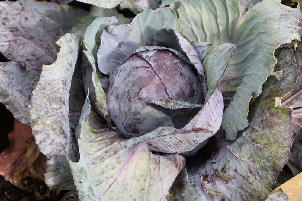 Rotkohl, Brassica oleracea convar. capitata var. rubra