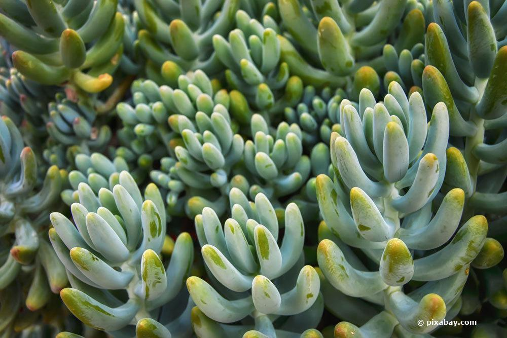 Fette Henne, Sedum allantoides