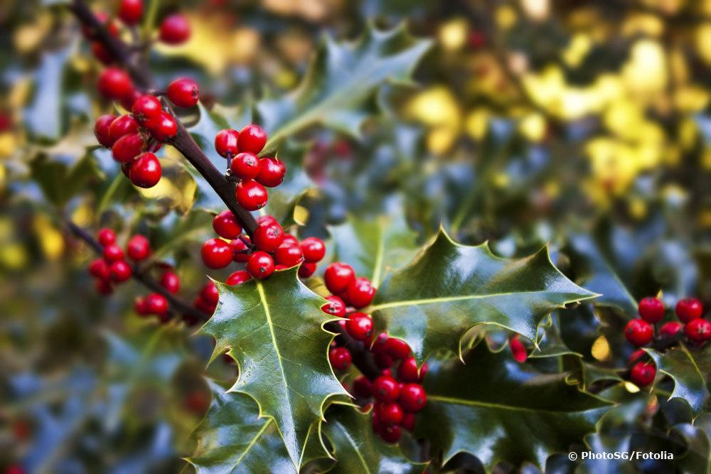 Stechpalme mit roten Früchten
