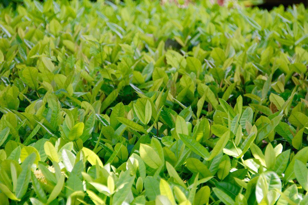 Tee, Camellia sinensis