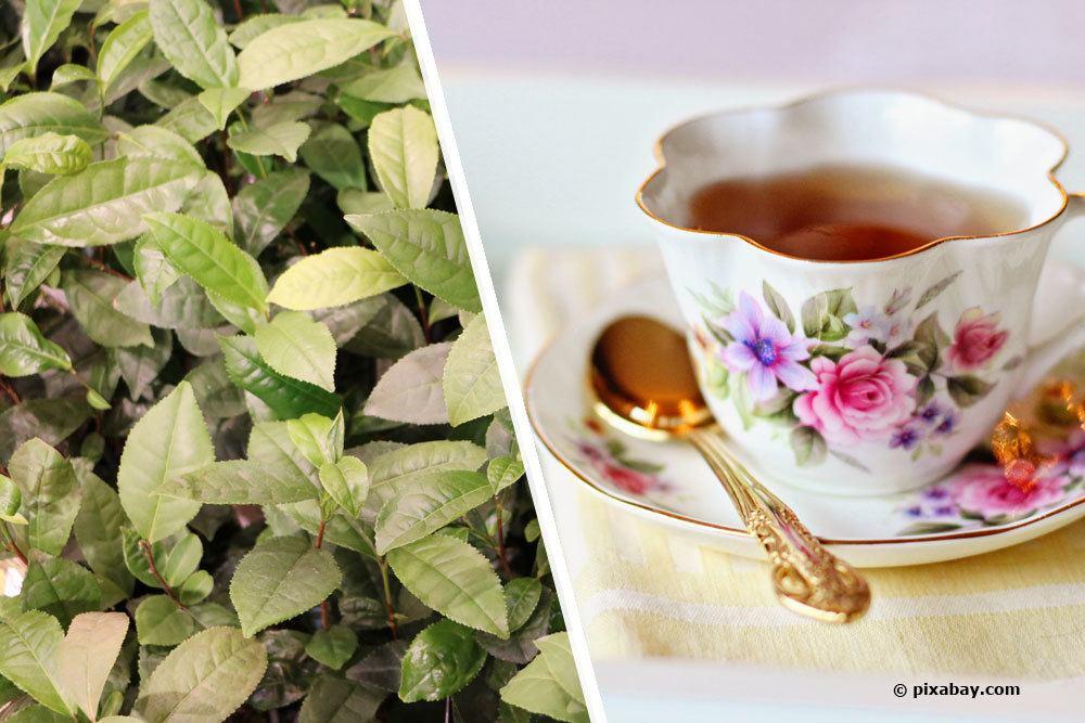 Tee selber anbauen