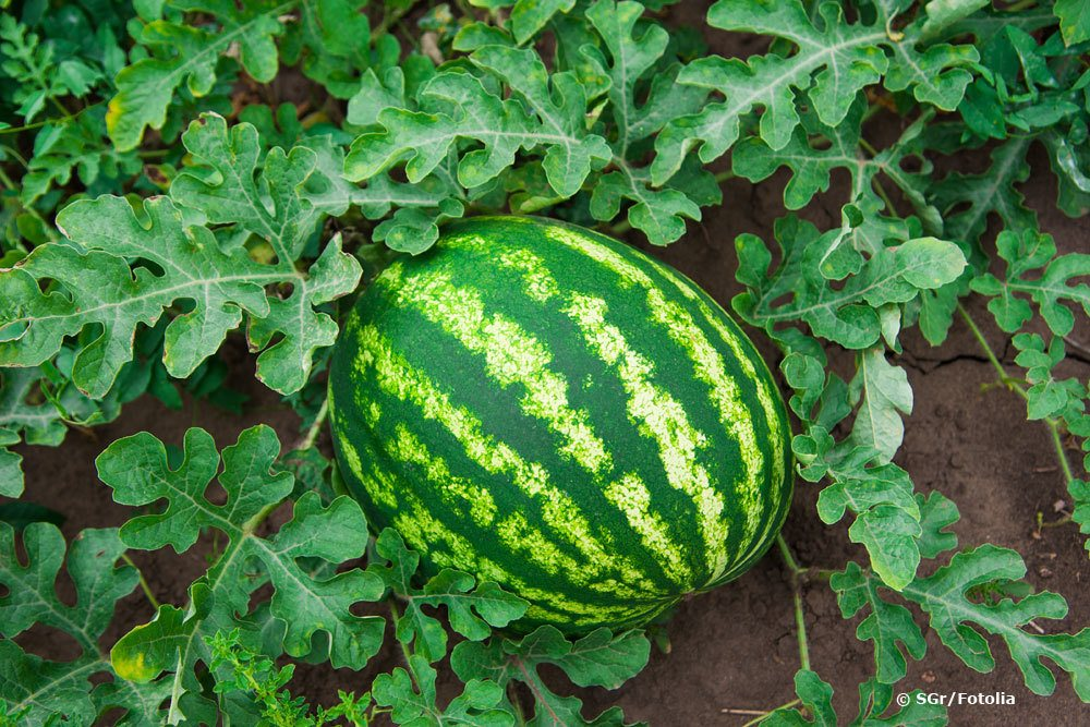 Wassermelone 'Crimson Sweet'