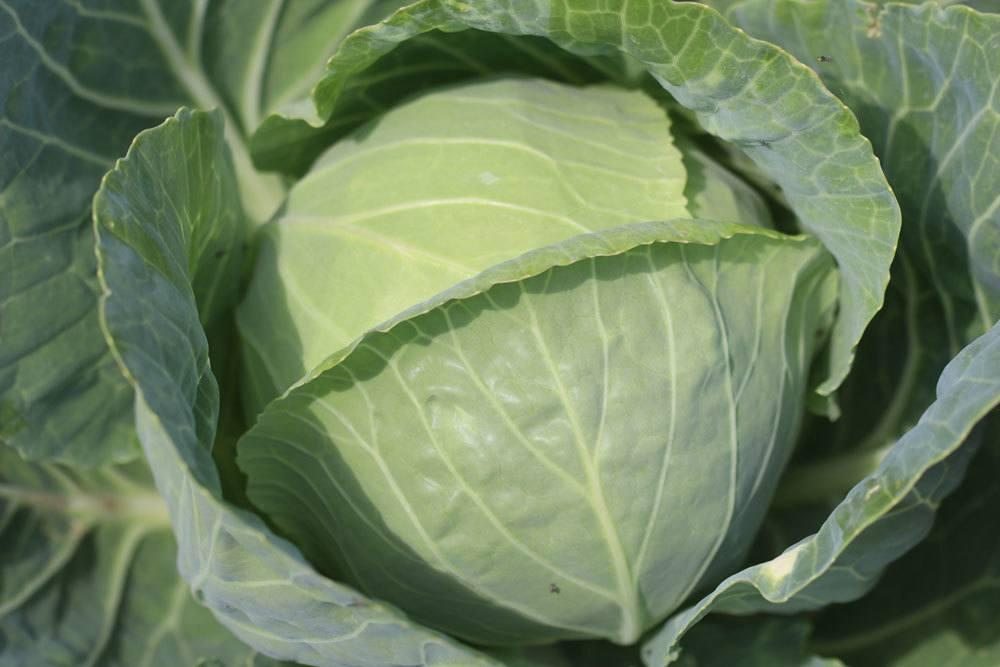 Weißkohl, Brassica oleracea convar. capitata var. alba