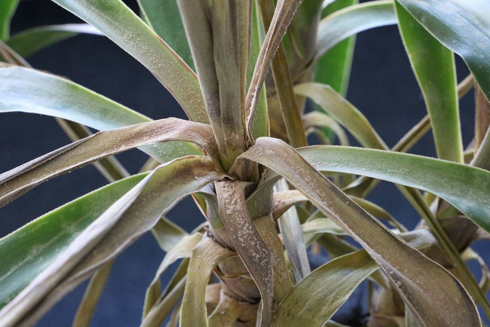 Yucca Krankheiten