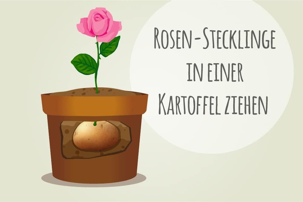 Rosen aus Stecklingen ziehen