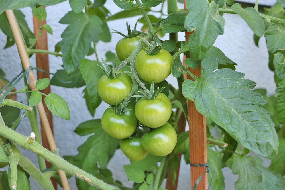 grüne Tomaten sind giftig