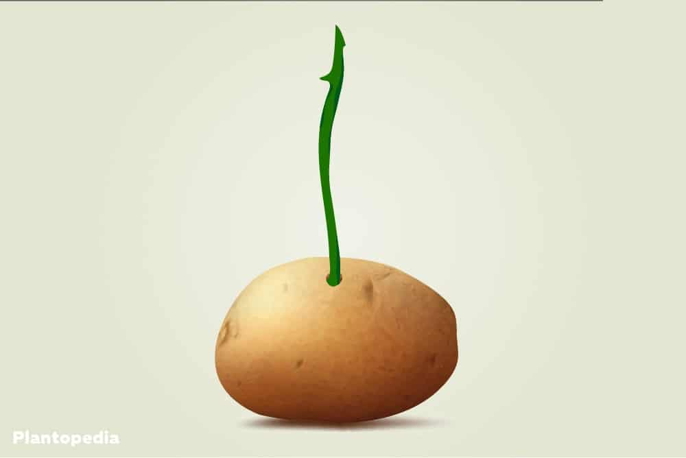 Rosenstiel in Kartoffel