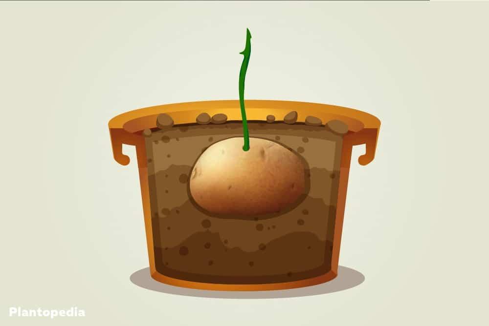 Rosenkartoffel im Topf