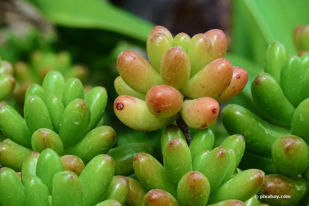 Fette Henne, Sedum rubrotinctum
