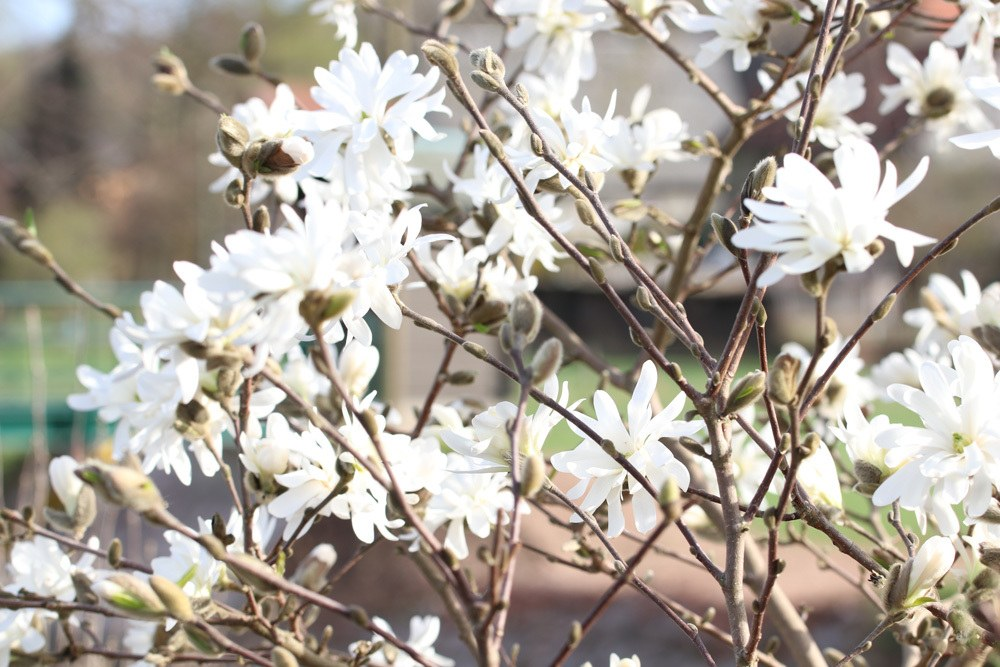 Stern-Magnolie Magnolia stellata