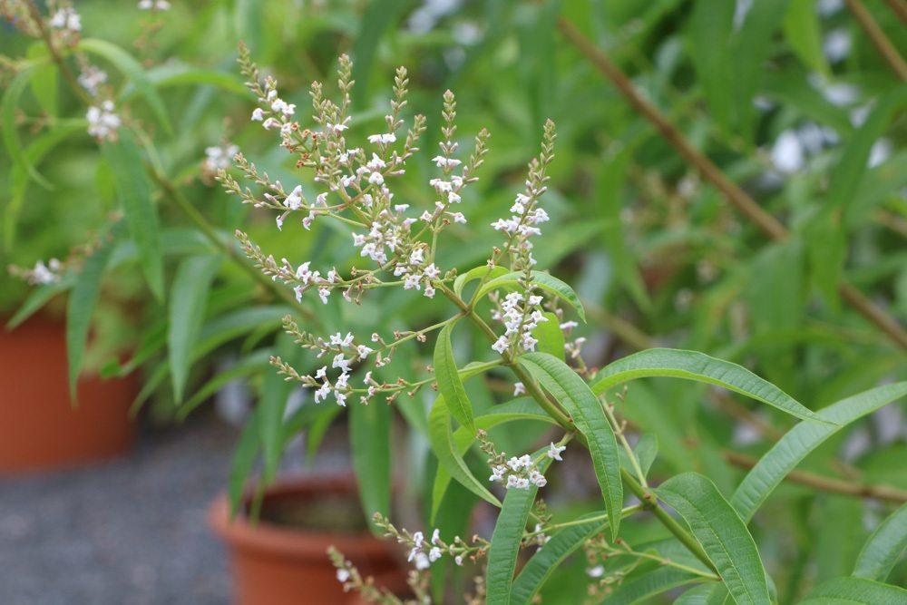zitronenverbene aloysia citrodora