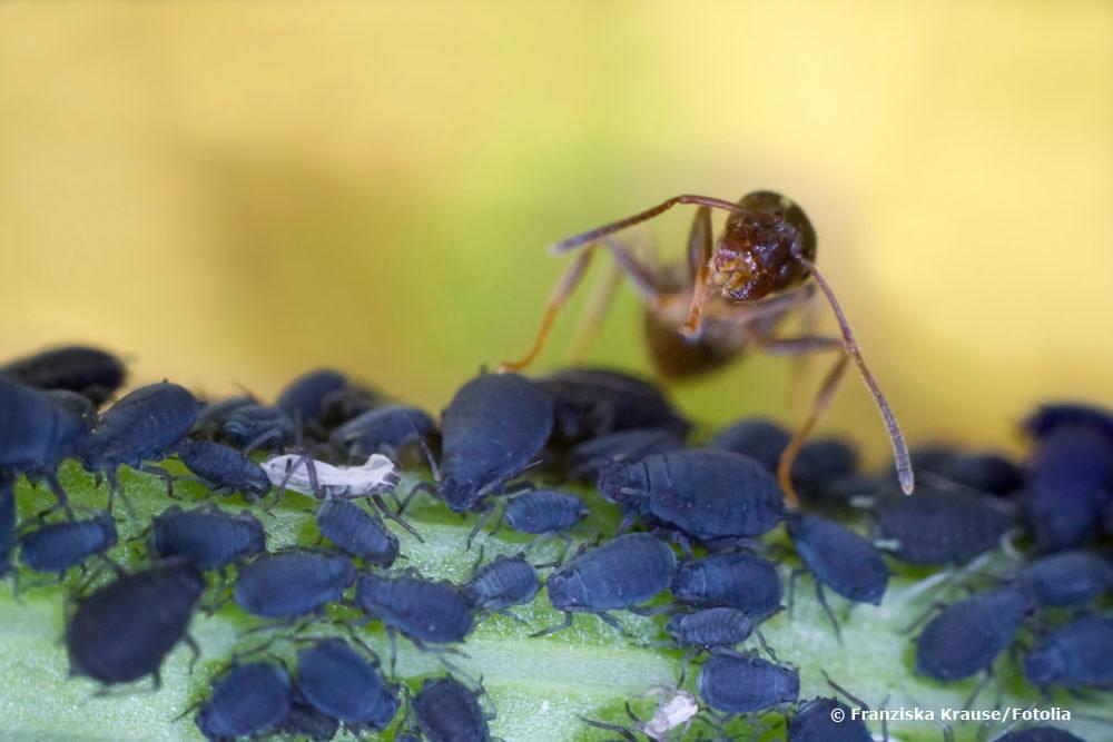Ganz und zu Extrem Ameisen in Erdbeeren | Was tun bei Ameisenbefall an Erdbeerpflanzen? @PL_41