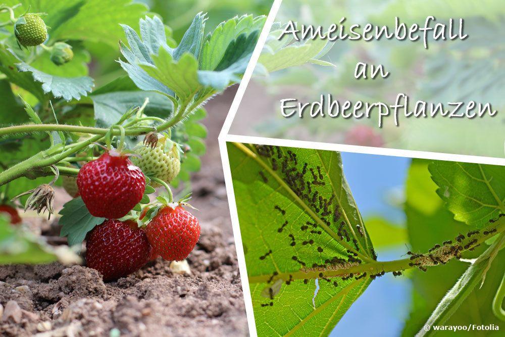 Ameisen an Erdbeeren