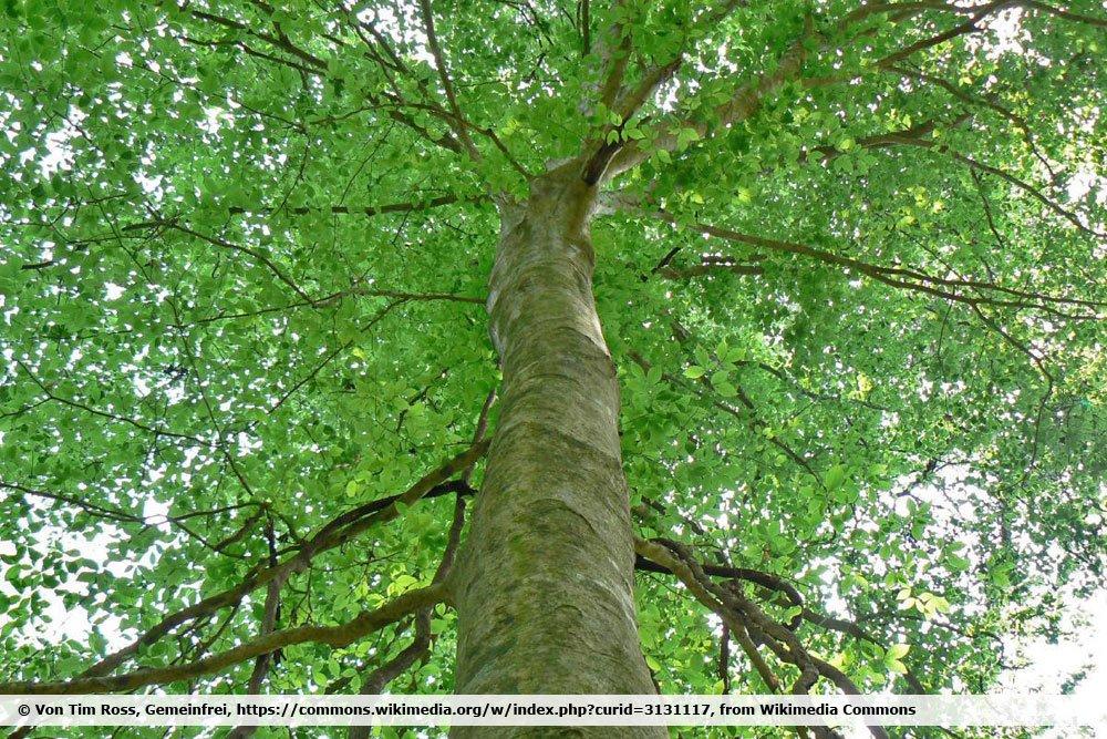 Amerikanische Buche, Fagus grandifolia
