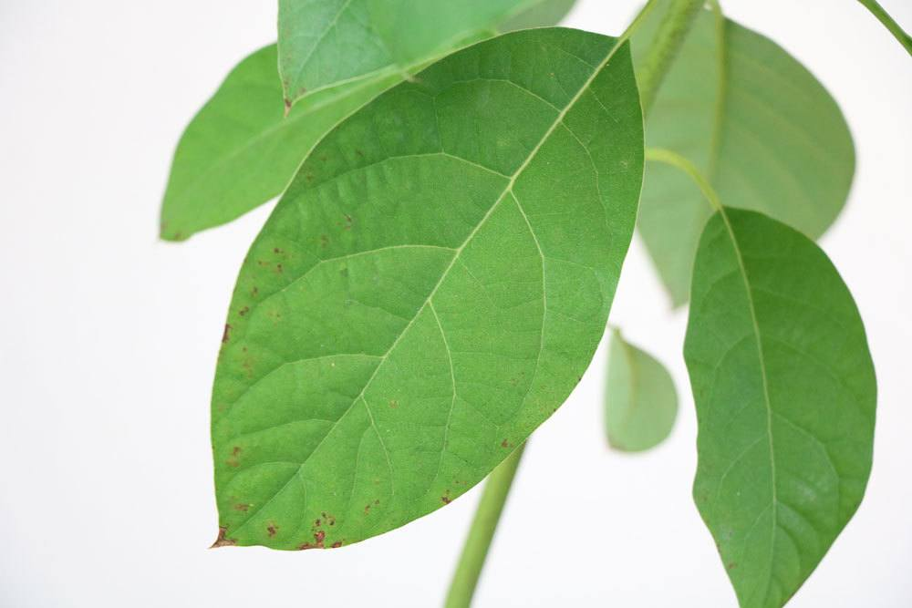 Avocadoblatt