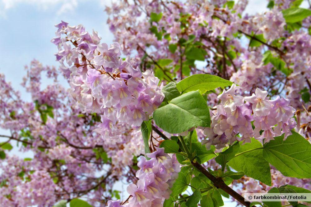 Blauglockenbaum, Paulownia Tomentosa