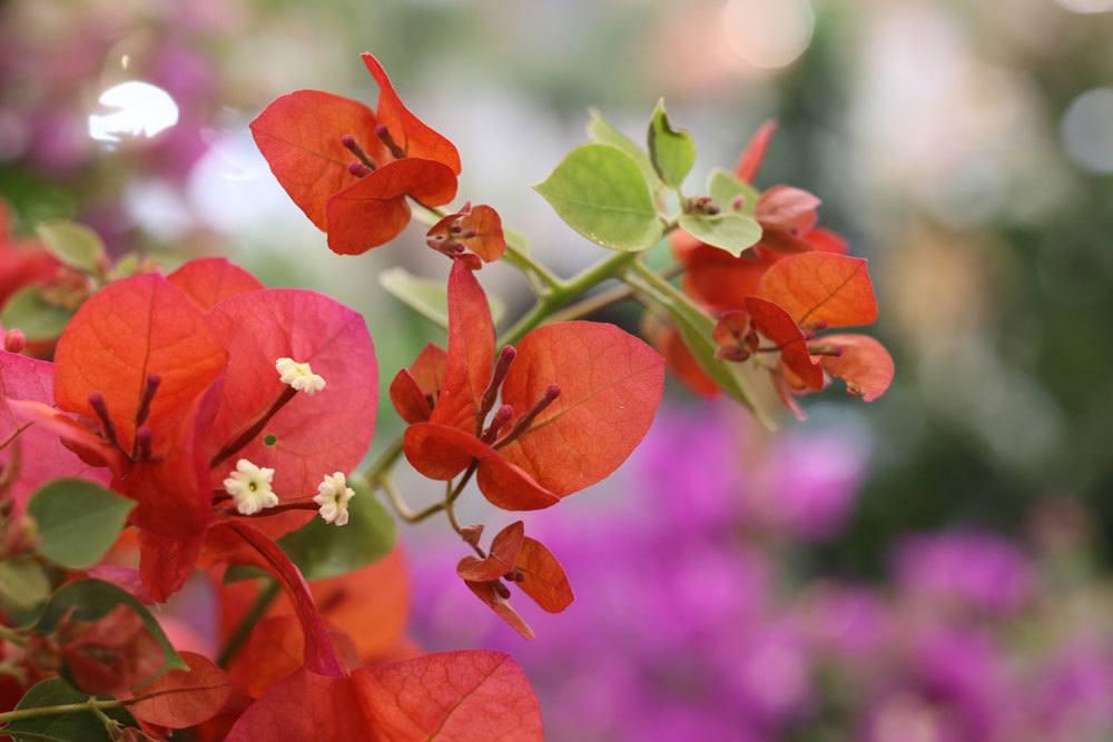 Bougainvillea mit roten Blüten
