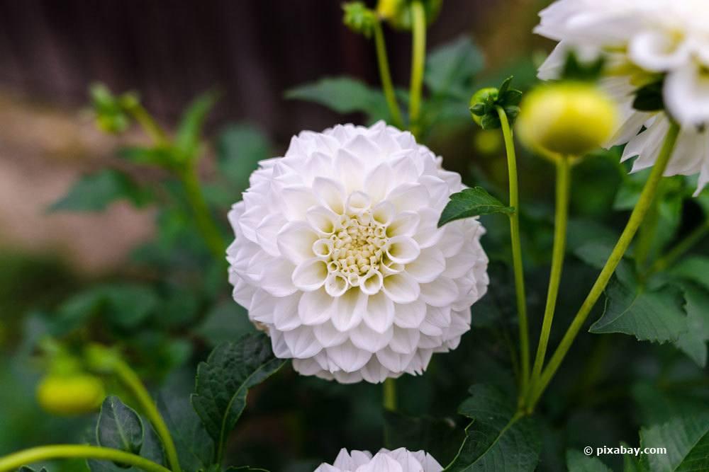 Dahlie 'Albino'