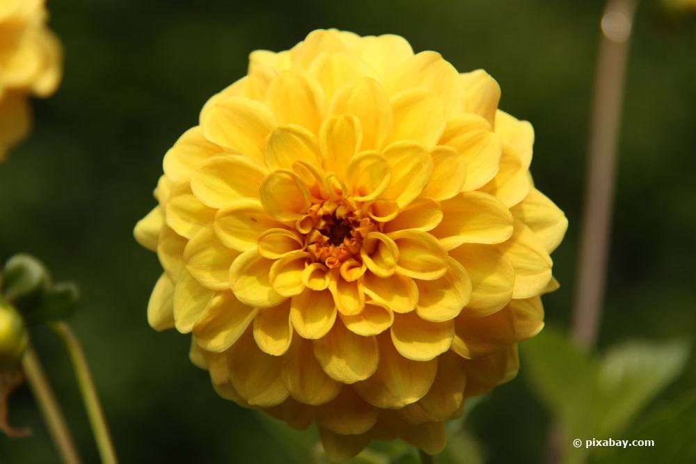 Dahlie 'Golden Scepter'
