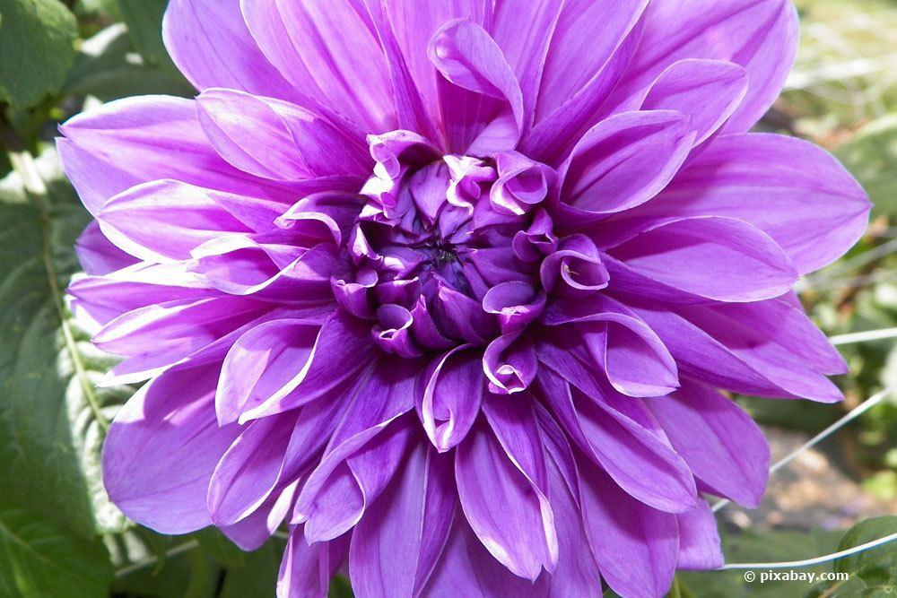 Dahlie 'Lilac Time'