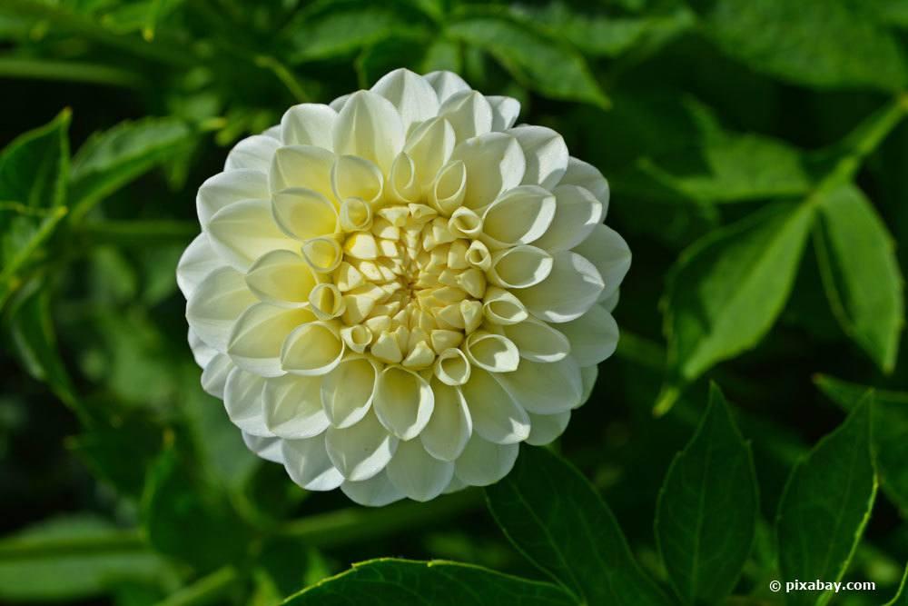 Dahlie 'White Aster'