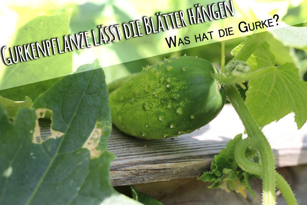 Gurkenpflanze Blätter hängen
