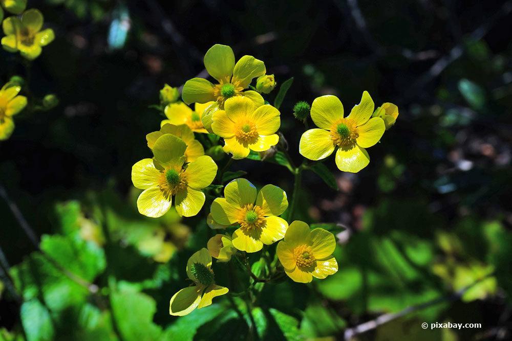 Gift-Hahnenfuß, Ranunculus sceleratus