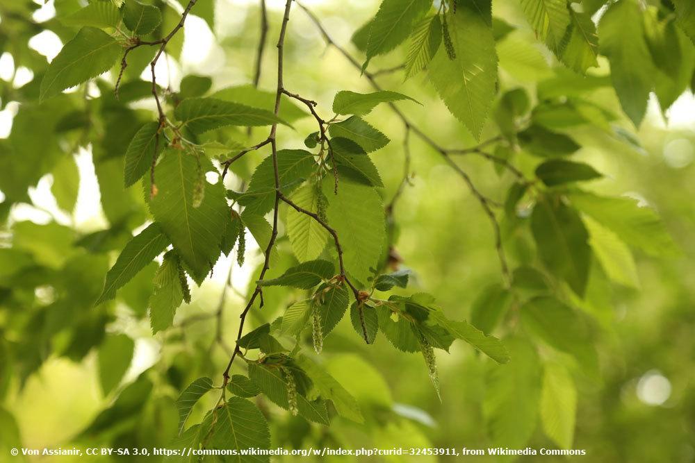 Hopfenbuche, Ostrya carpinifolia