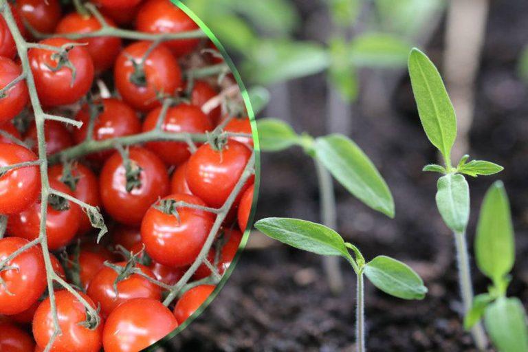 Keimdauer von Tomaten