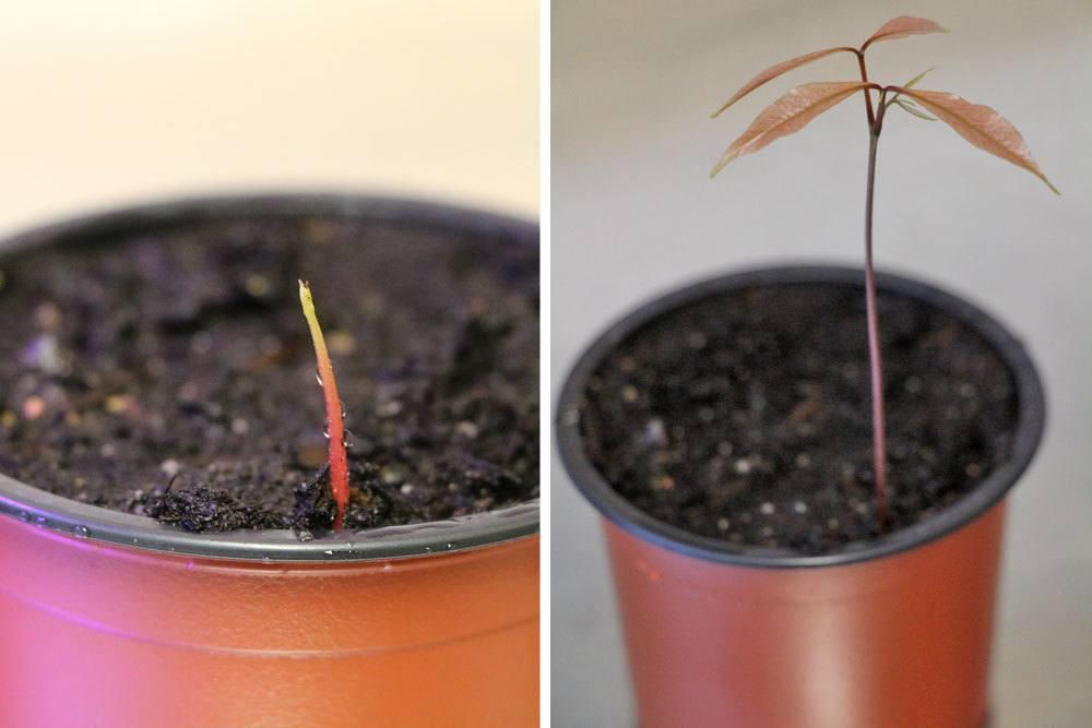 Litschipflanze nach 5 Wochen und nach 7 Wochen