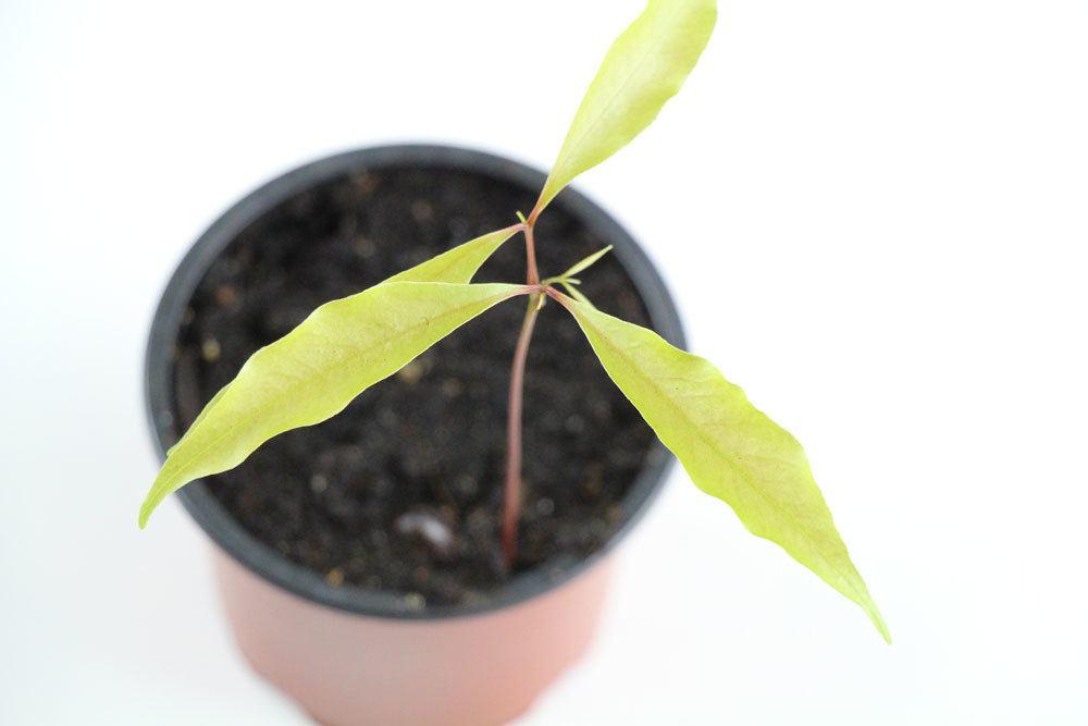 Litschipflanze 8 Wochen nach Einpflanzung des Kerns