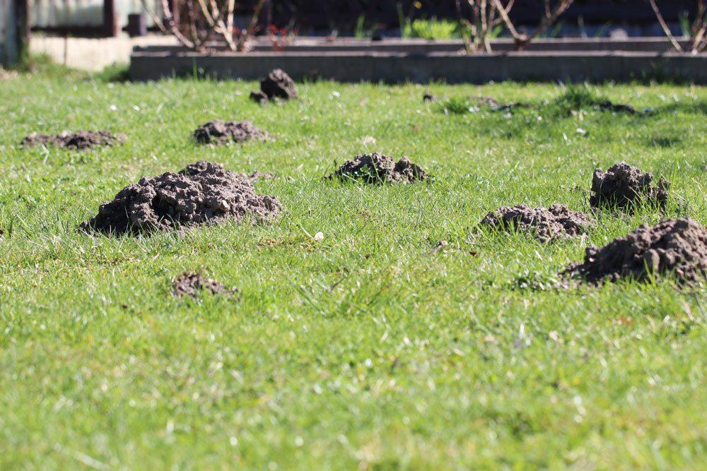 Maulwufshügel im Rasen