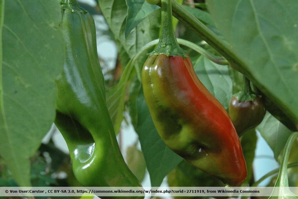 Chili 'NuMex Big Jim'