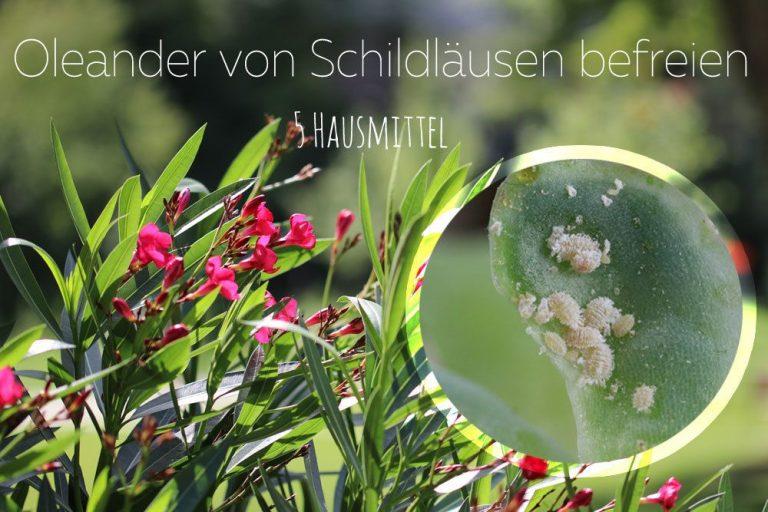 Oleander von Schildläusen befreien