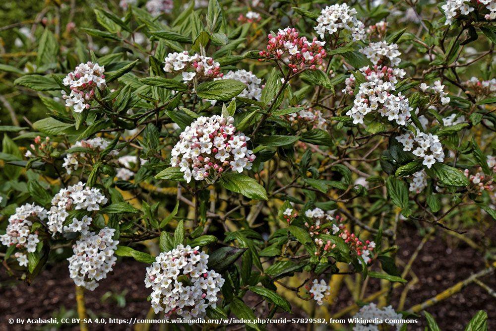 Osterschneeball, Viburnum burkwoodii