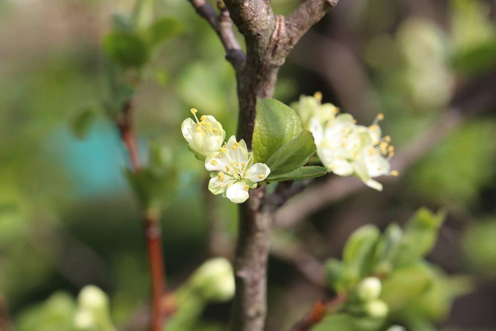 Blüte des Pflaumenbaumes