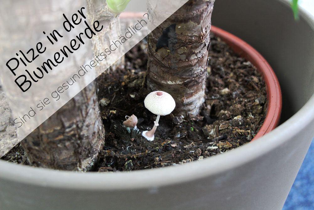 Pilze in der blumenerde was tun sind sie for Mucken in der blumenerde