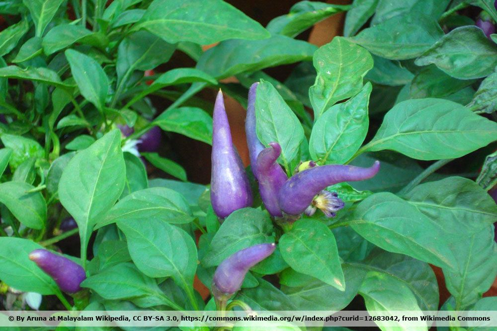 Chili 'Purple Cayenne'