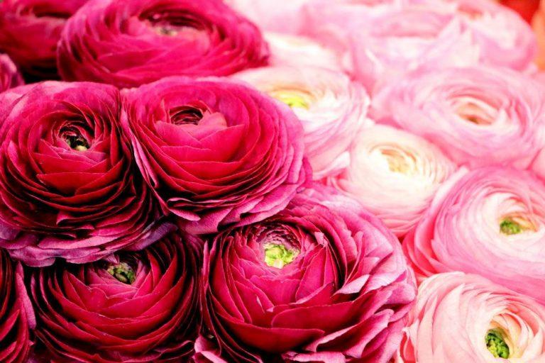 Ranunkel mit rosa Blüten