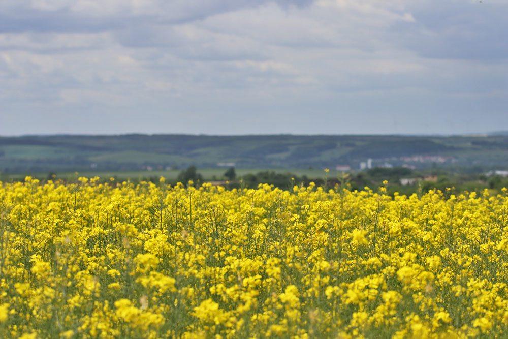Rapsfeld, Brassica napus