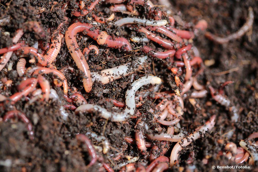 Regenwürmer sind Nützlinge im Garten