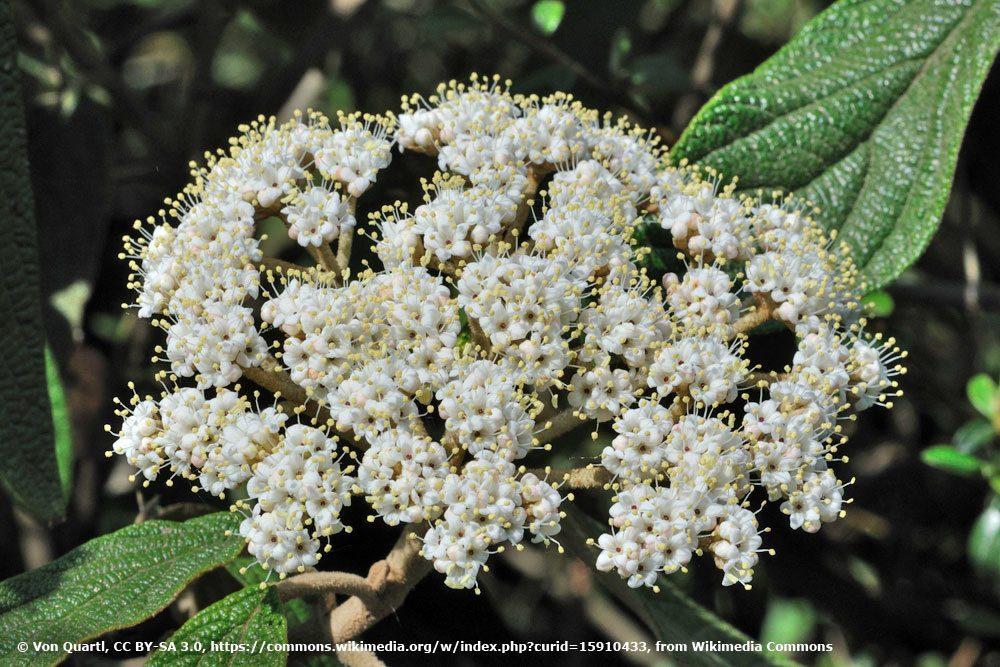 Runzelblättriger Schneeball, Viburnum rhytidophyllum)