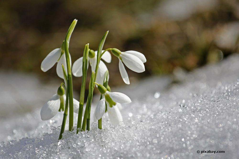 Schneeglöckchen, Galanthus