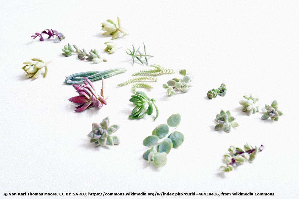 Sukkulenten Stecklinge
