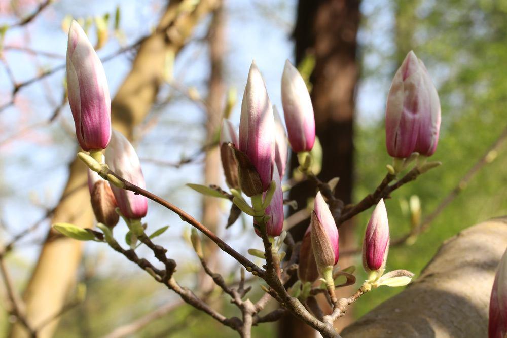 wann bl hen magnolien bl tezeit der sorten magnolienbaum. Black Bedroom Furniture Sets. Home Design Ideas