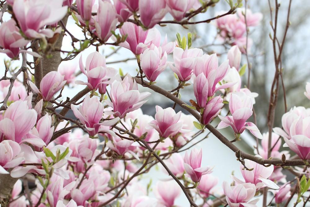Tulpen-Magnolie Magnolia soulangiana ist eine kalkempfindliche Pflanze