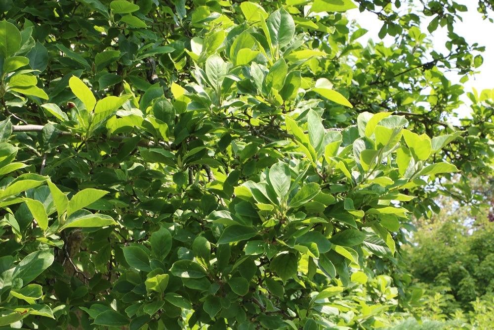 Tulpen-Magnolie Magnolia soulangiana